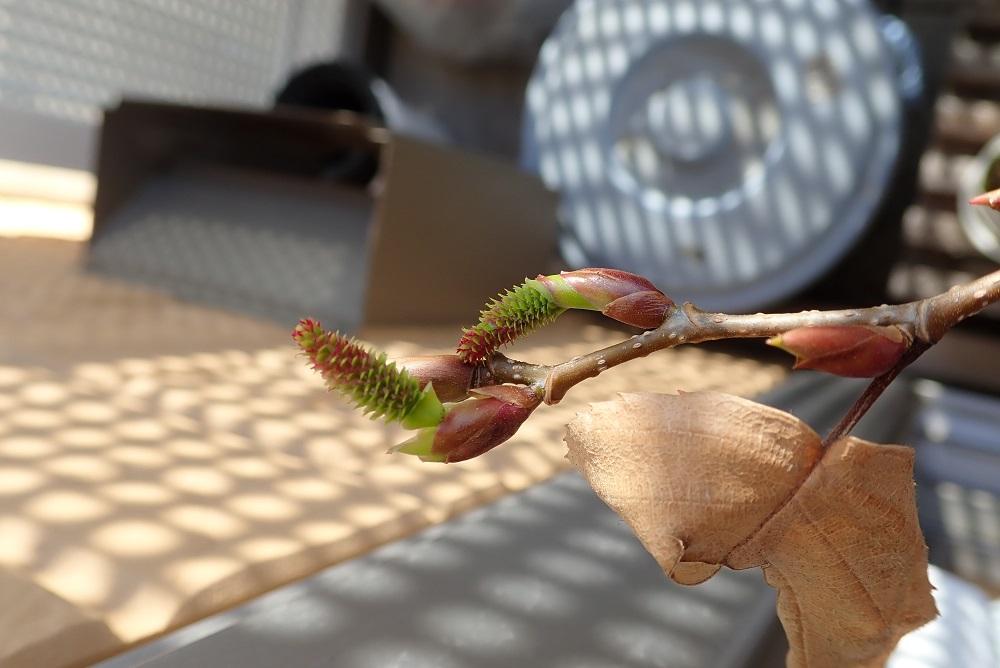 オオバヤシャブシ雌花
