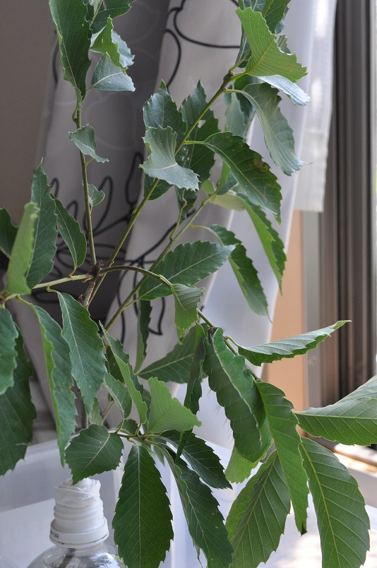 コナラの枝ぶりに溶け込むヤママユ