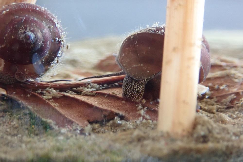 水底を漁る子タニシ