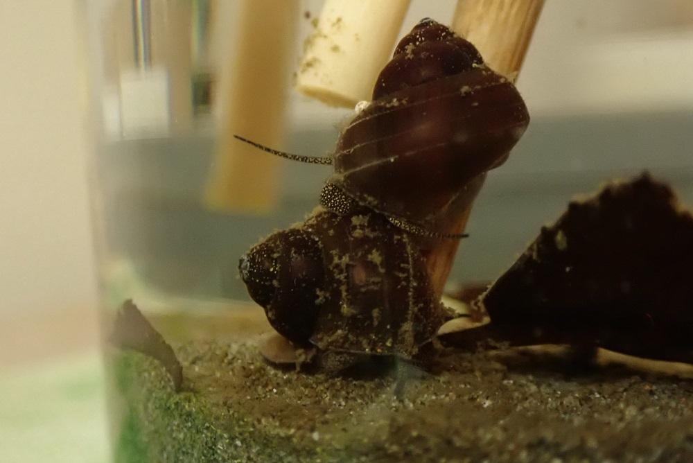 タニシの殻を舐めるタニシ