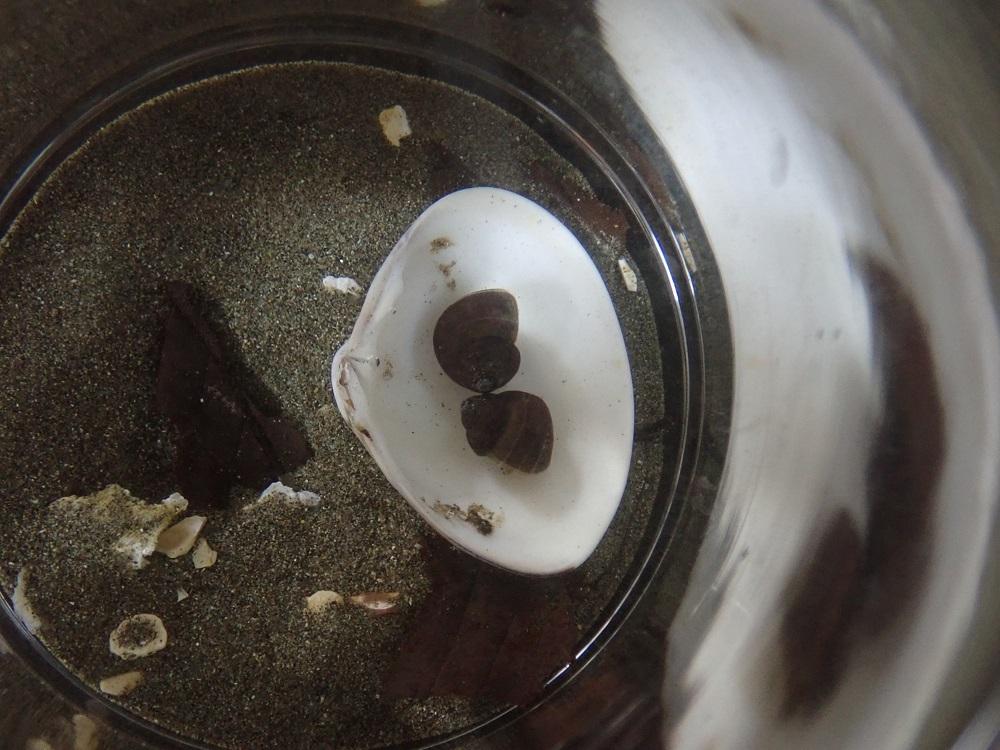 ハマグリ貝殻導入