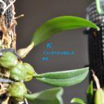 Bulb.ペクテンベネリス 新芽がバルブに