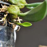 Bulb.ペクテンベネリス 別の新芽