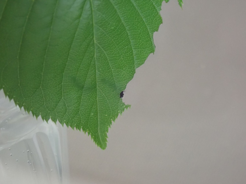 2頭寄り添いながら少しずつサクラの葉を摂食中
