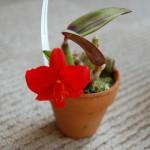 C.コッキネア開花2