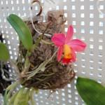 ミニカトレア開花