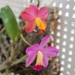 カトレア2番目開花