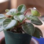 キリタ・タミアナ花茎