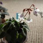 キリタ・タミアナ開花