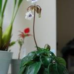 キリタ・タミアナ 開花