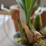 Coel.フラクシダ 花茎
