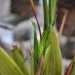 Coel.マルチフローラ 古い花茎