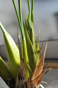Coel.マルチフロラ葉芽