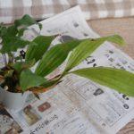 Coel.pandurata植替1