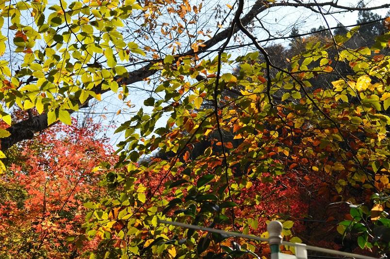 光に透ける紅葉の様子