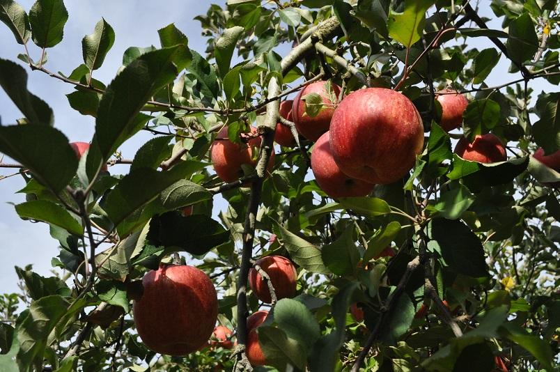 奥久慈りんご園1