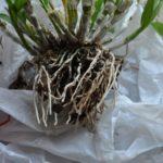 デンドロ鉢リフレッシュ4(根を整理)