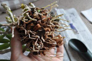 デンドロ鉢リフレッシュ9(植え込み材詰める)