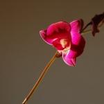 デンファレ開花