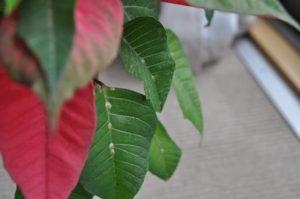 葉に妙な模様が