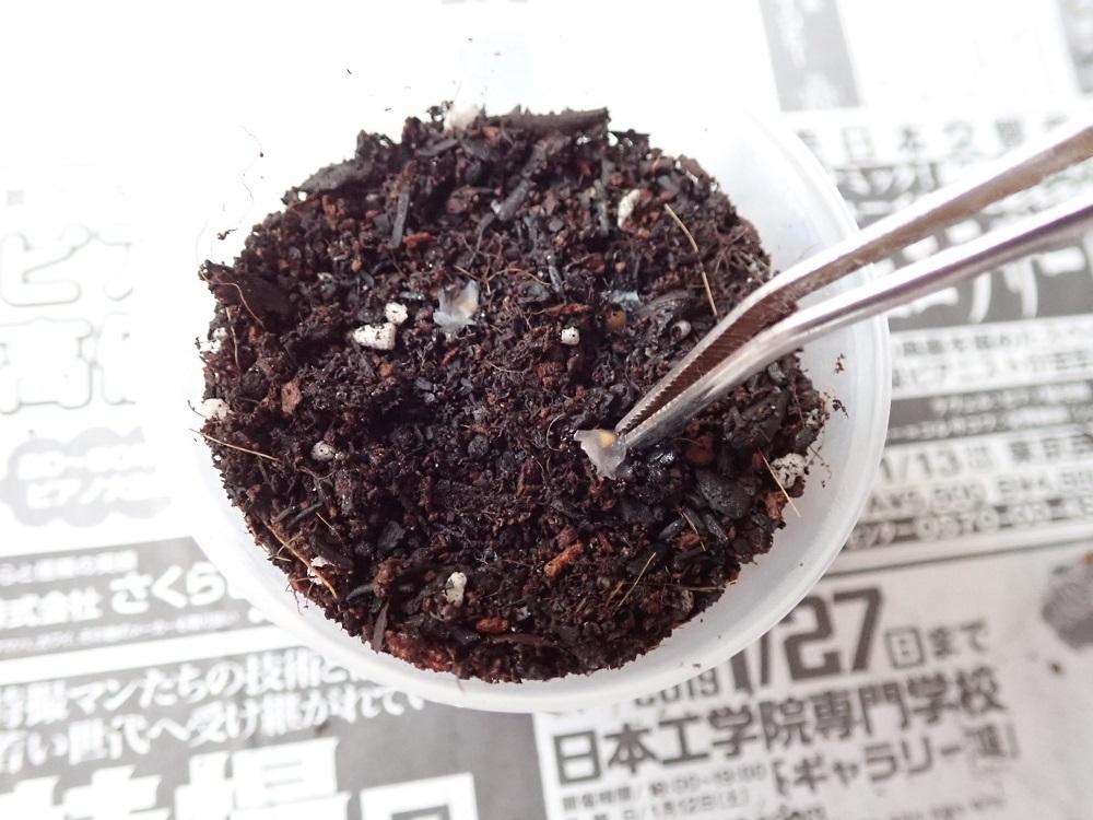 培養土を一杯まで入れ種を導入