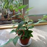 ヤシャブシ鉢植え