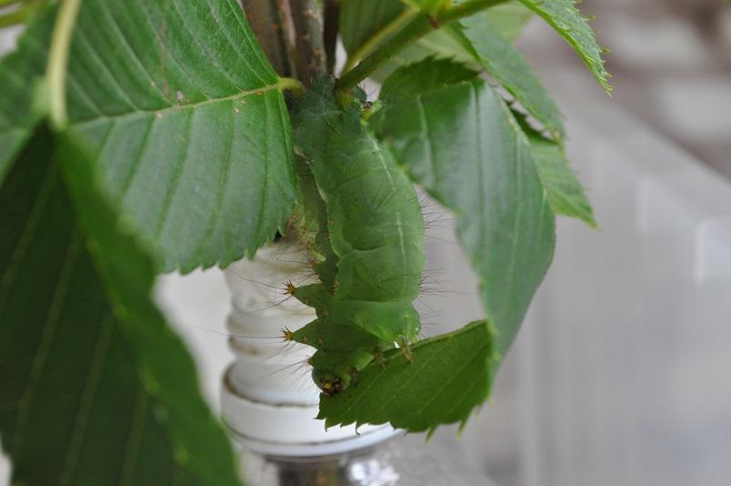 最後の幼虫個体