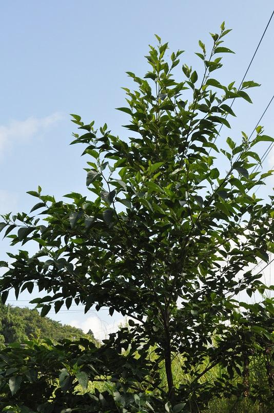 オオバヤシャブシ木立
