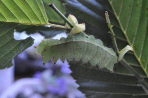 オナガミズアオ「あがり」気配の個体