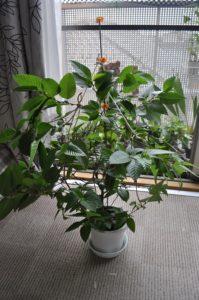 オオバヤシャブシ鉢植え今年2回目の使用