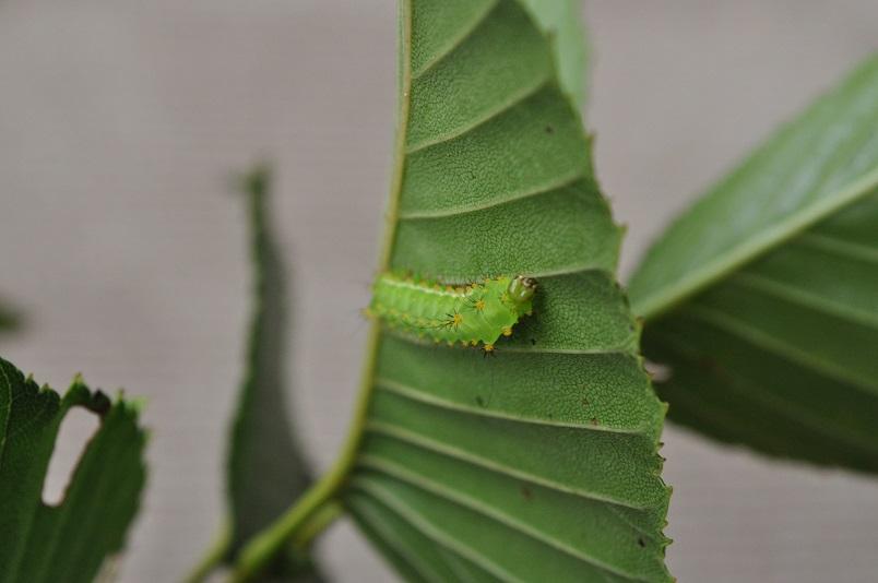 枝に幼虫を移す