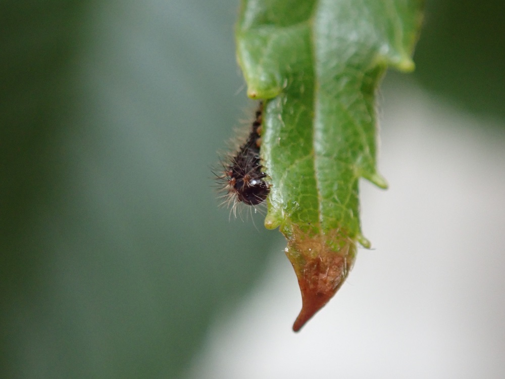 葉の先の方を食べる1齢