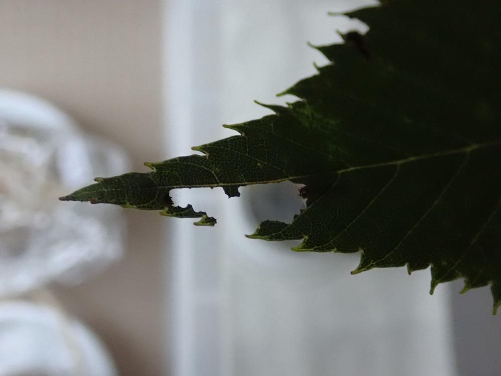 食べ進んだ葉