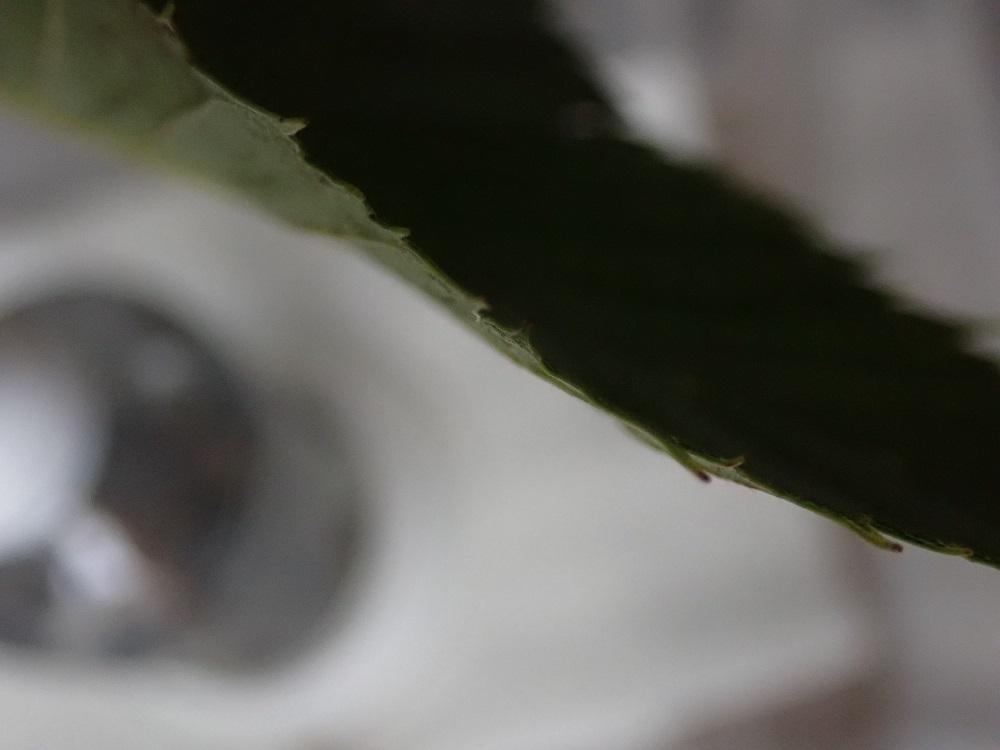 よく食べた方の葉の縁