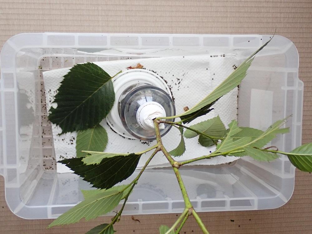オオバヤシャブシ落葉