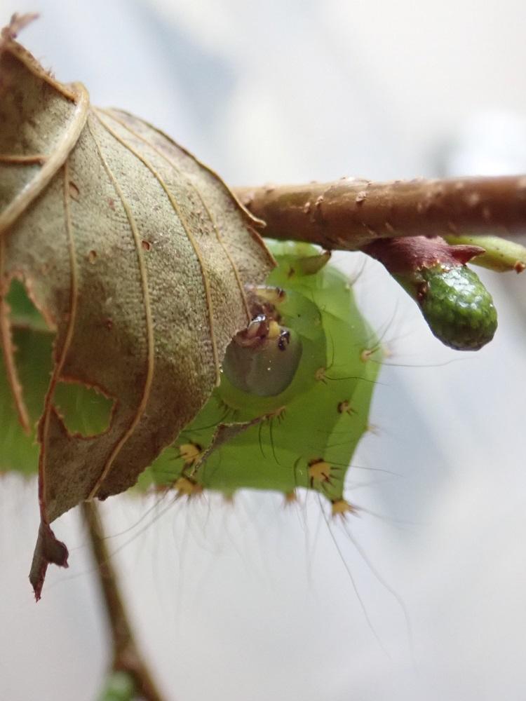 枯れ葉を食べている