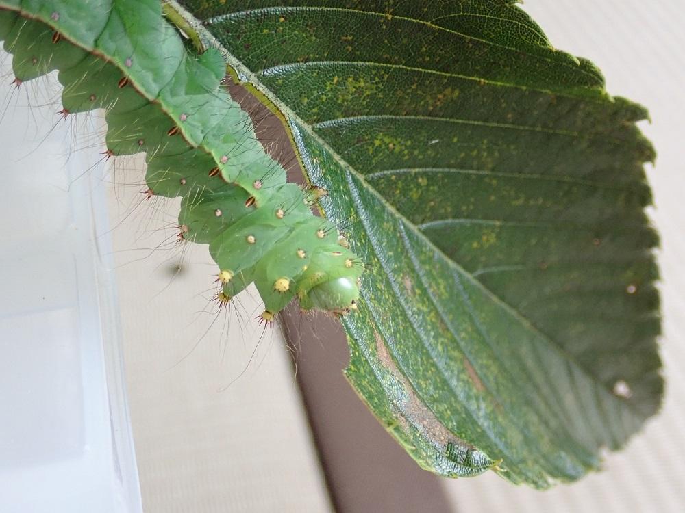 さび病に罹ったような葉を食べる