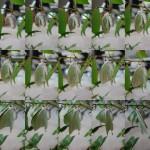 オナガミズアオ雌羽を伸ばす