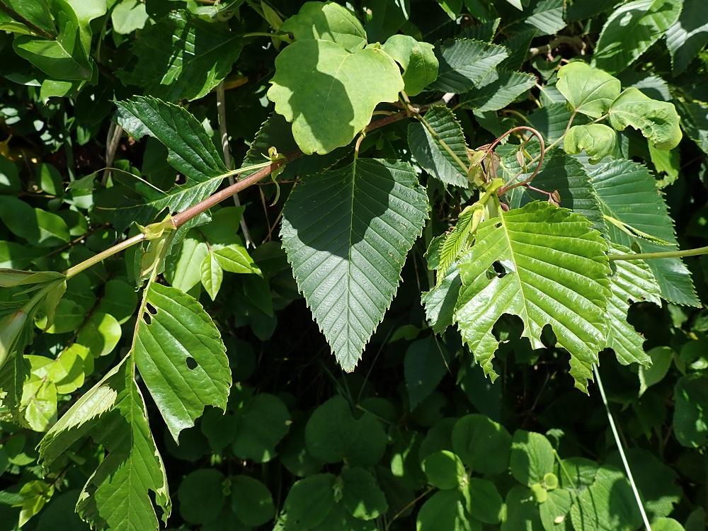 ヤシャブシの葉に派手な食べ痕