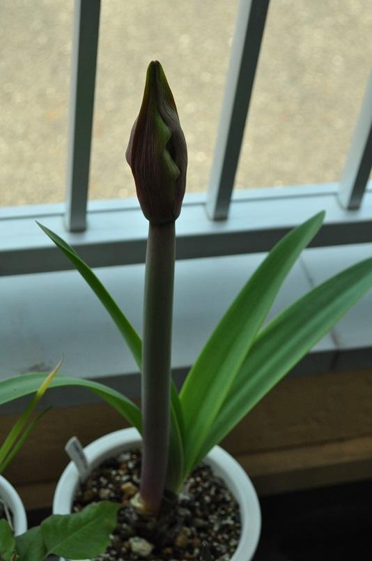 花茎が伸びる