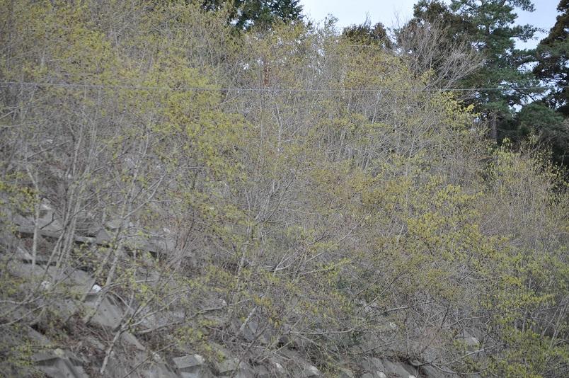 ヤシャブシ類花盛り