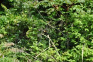 クマバチ飛翔撮影-1