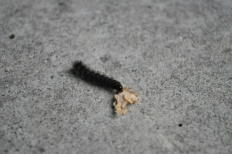 カノコガ幼虫か