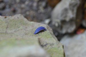 青いワラジムシ