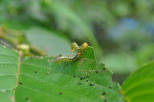 ヒラアシハバチ幼虫拡大