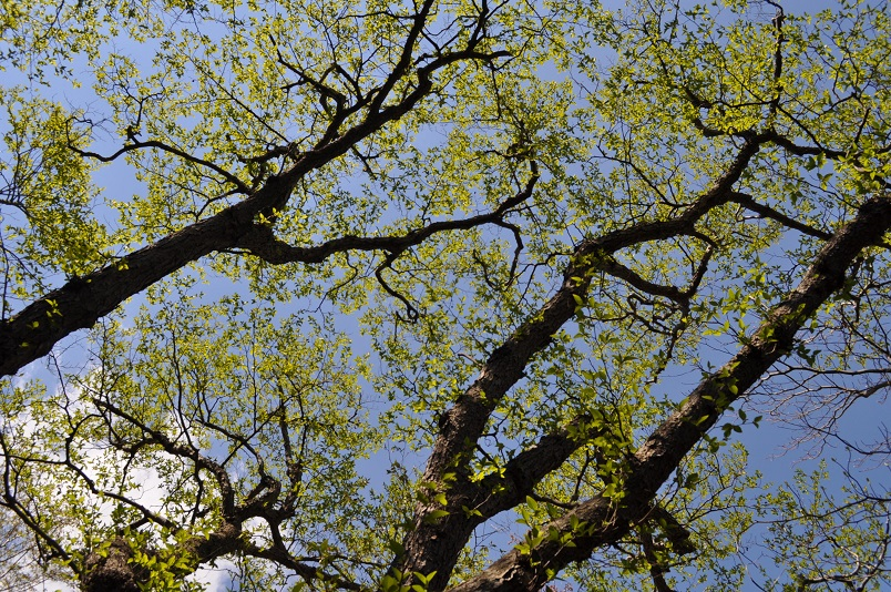 ヤシャブシの大木の芽吹き