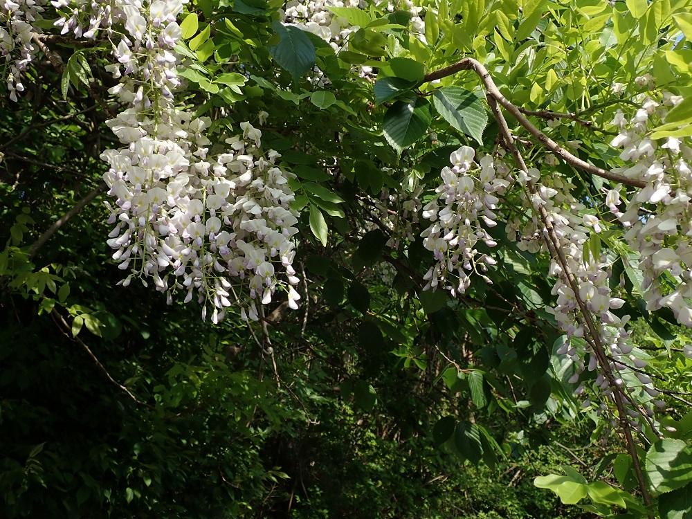 白っぽいフジの花
