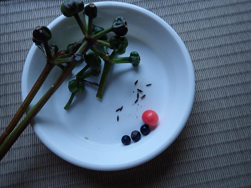 持ち帰った種子