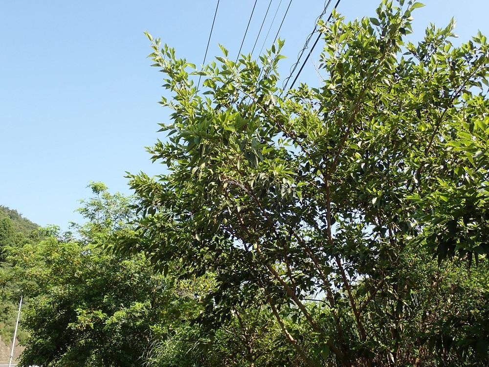 ヤシャブシの木立