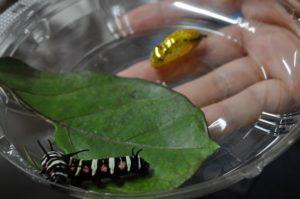 オオゴマダラ幼虫・蛹